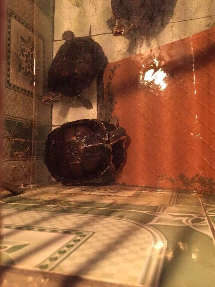 Rùa Câm sinh sản