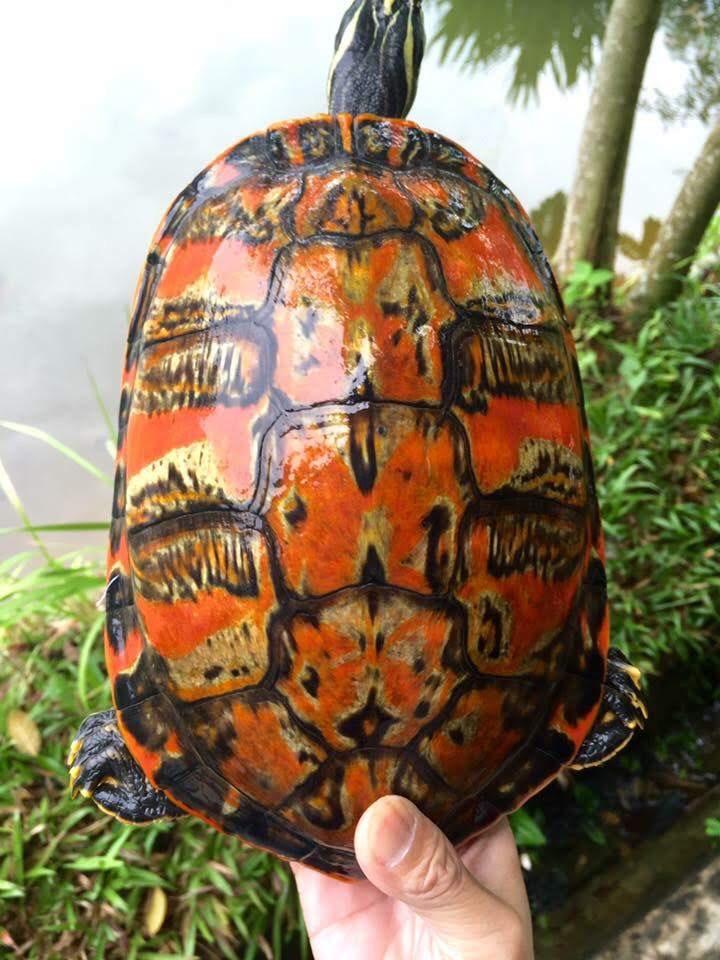Rùa Phong Thuy