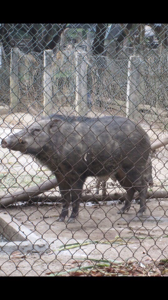Lợn rừng F1