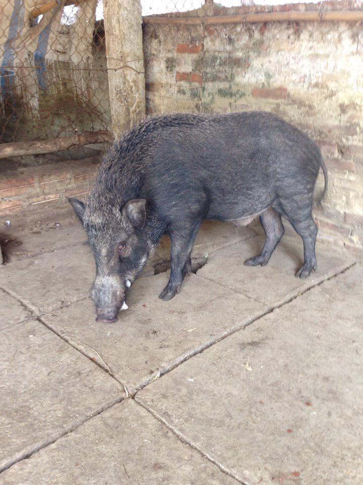 Lợn mán lai rừng