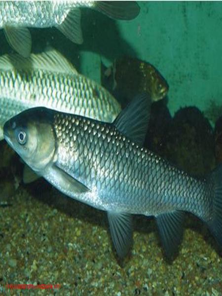 Cá trắm giòn sống