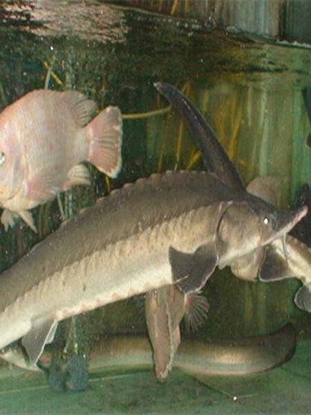 Cá tầm 3 - 6kg