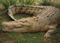 Nuôi cá sấu – Mô hình làm giàu mới