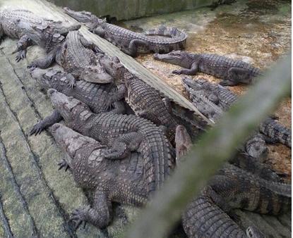 Cá sấu sống