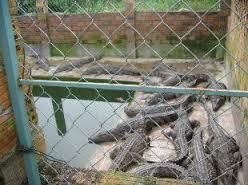 Nghề nuôi cá sấu: Hướng làm giàu mới của bà con nông dân