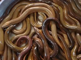 Kinh nghiệm làm giàu từ nghề nuôi lươn