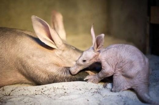 Cận cảnh lợn đất Châu Phi xấu nhất hành tinh