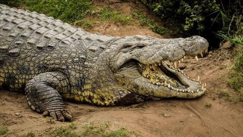 Con cá sấu sống lâu nhất thế giới