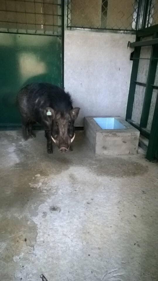 Lợn Rừng F 2