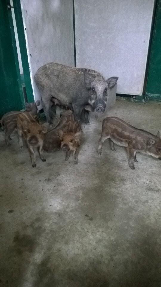 Lợn rừng F3