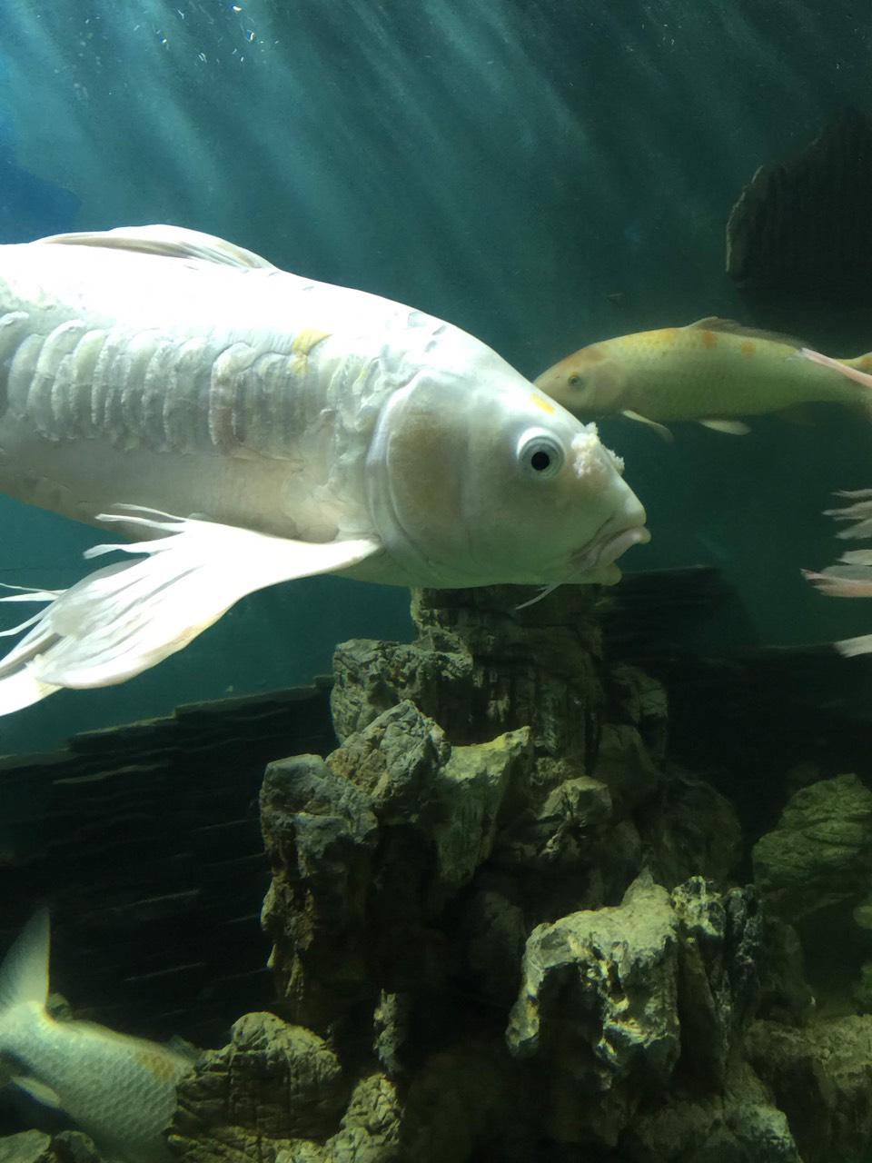 Cá chép đuôi dài