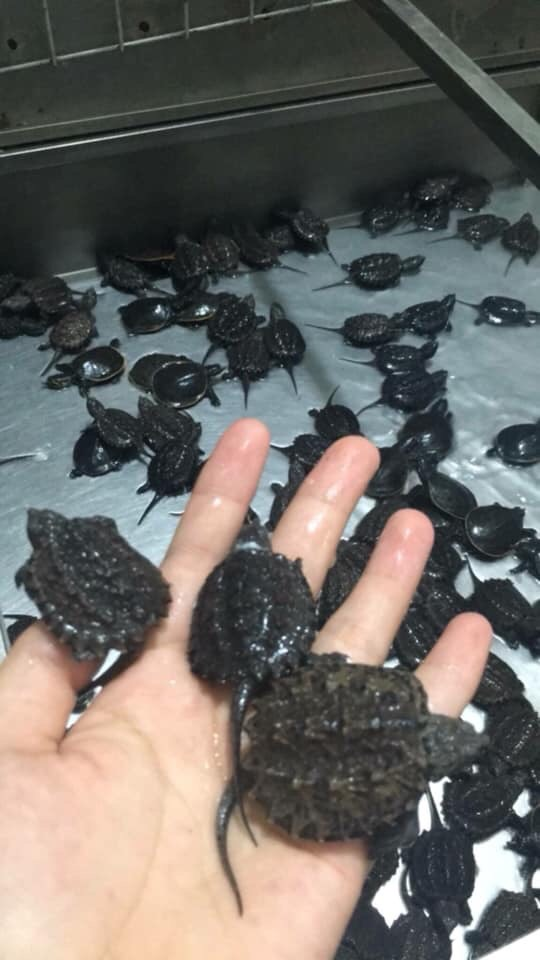 Rùa cá sấu giống