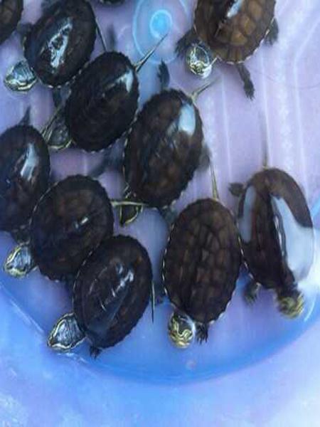 Rùa trung bộ giống