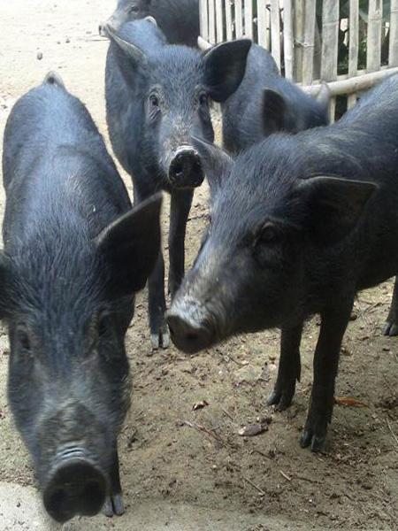 Lợn mán cắp nách